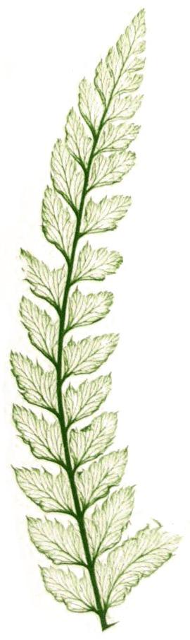 Image of Soft Shield-fern