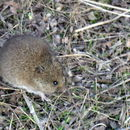 Image of Western Mouse