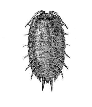 Image of <i>Porcellio laevis</i> Latreille 1804
