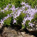 Image of Adriatic bellflower