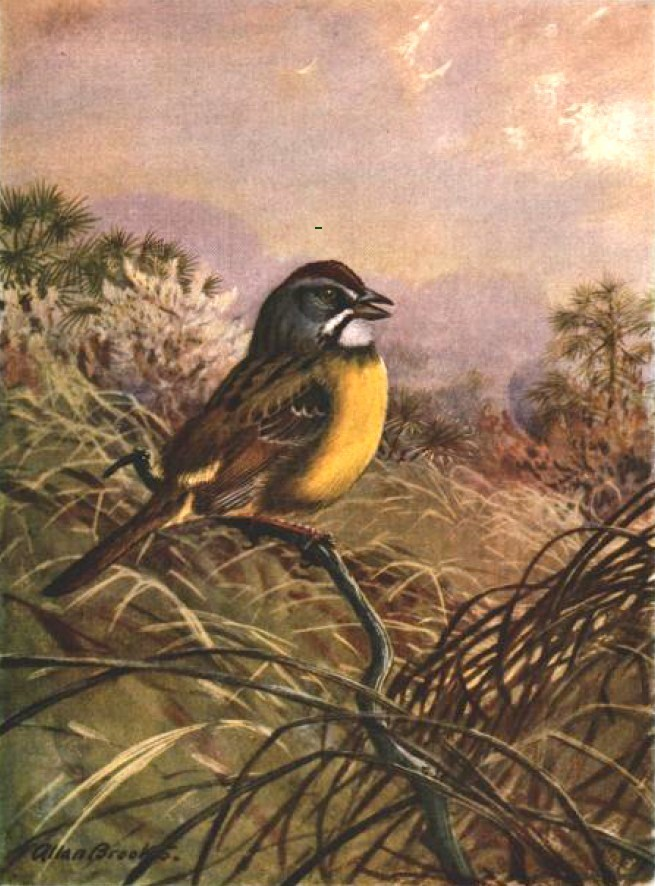Image of Cuban Sparrow