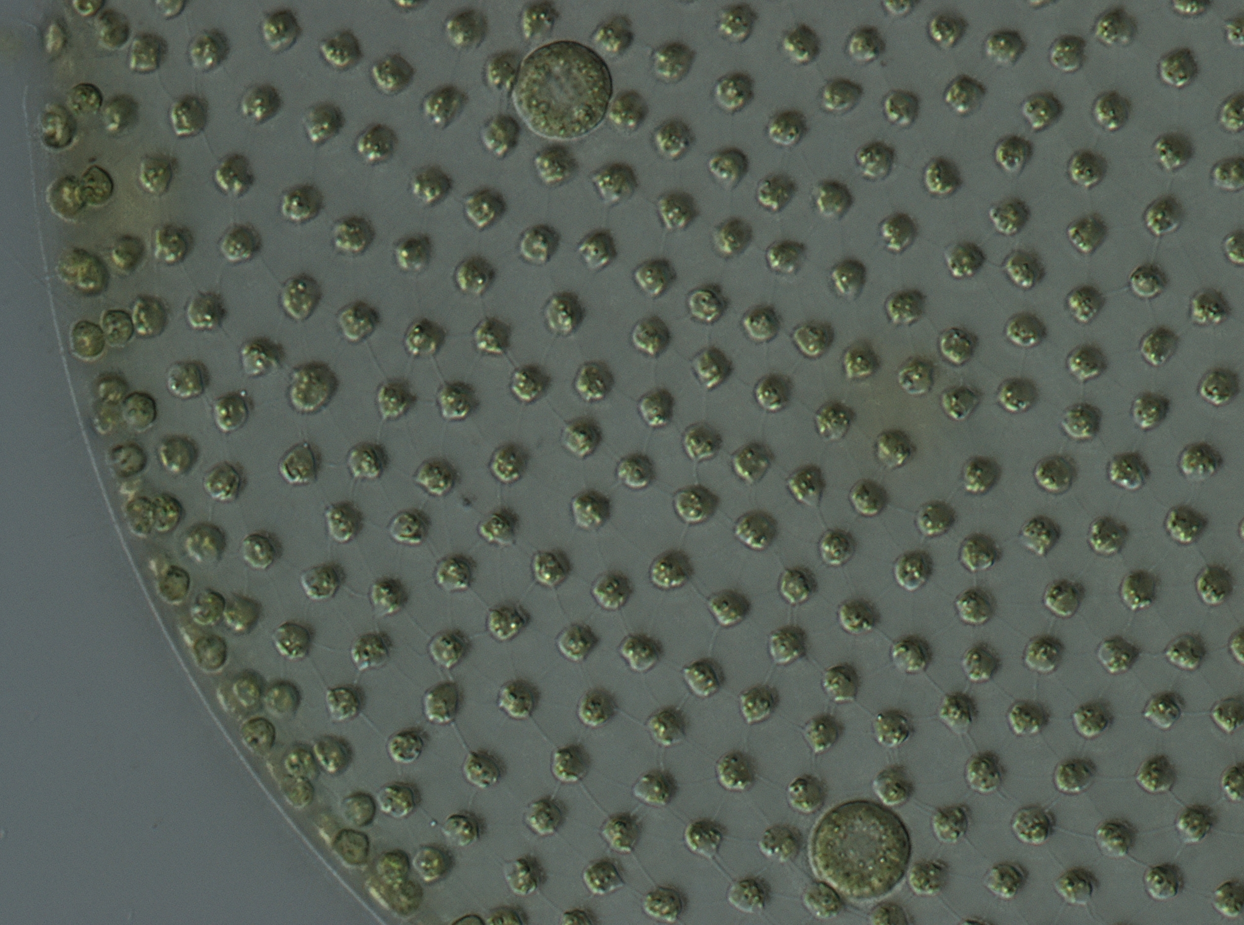 Image of Globe Algae