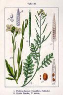 Image of garden rocket