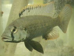 Image of Haplo Fish