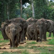 Image of Borneo elephant
