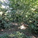 Image of <i>Acer elegantulum</i> W. P. Fang & P. L. Chiu