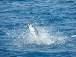 Image of Atlantic sailfish