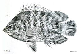Image of Malayan Leaffish