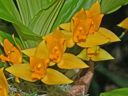 Image of Sweet scented Lycaste