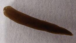Image of <i>Schmidtea polychroa</i> (Schmidt 1861)