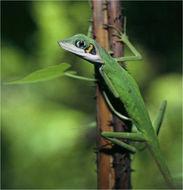 Image of Daniel's Forest Lizard