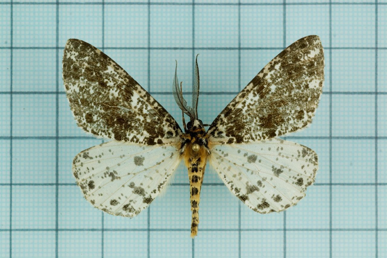 Image of <i>Arichanna picaria</i> Wileman 1910