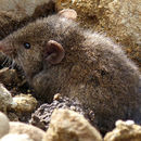 Image of Sanborn's Grass Mouse