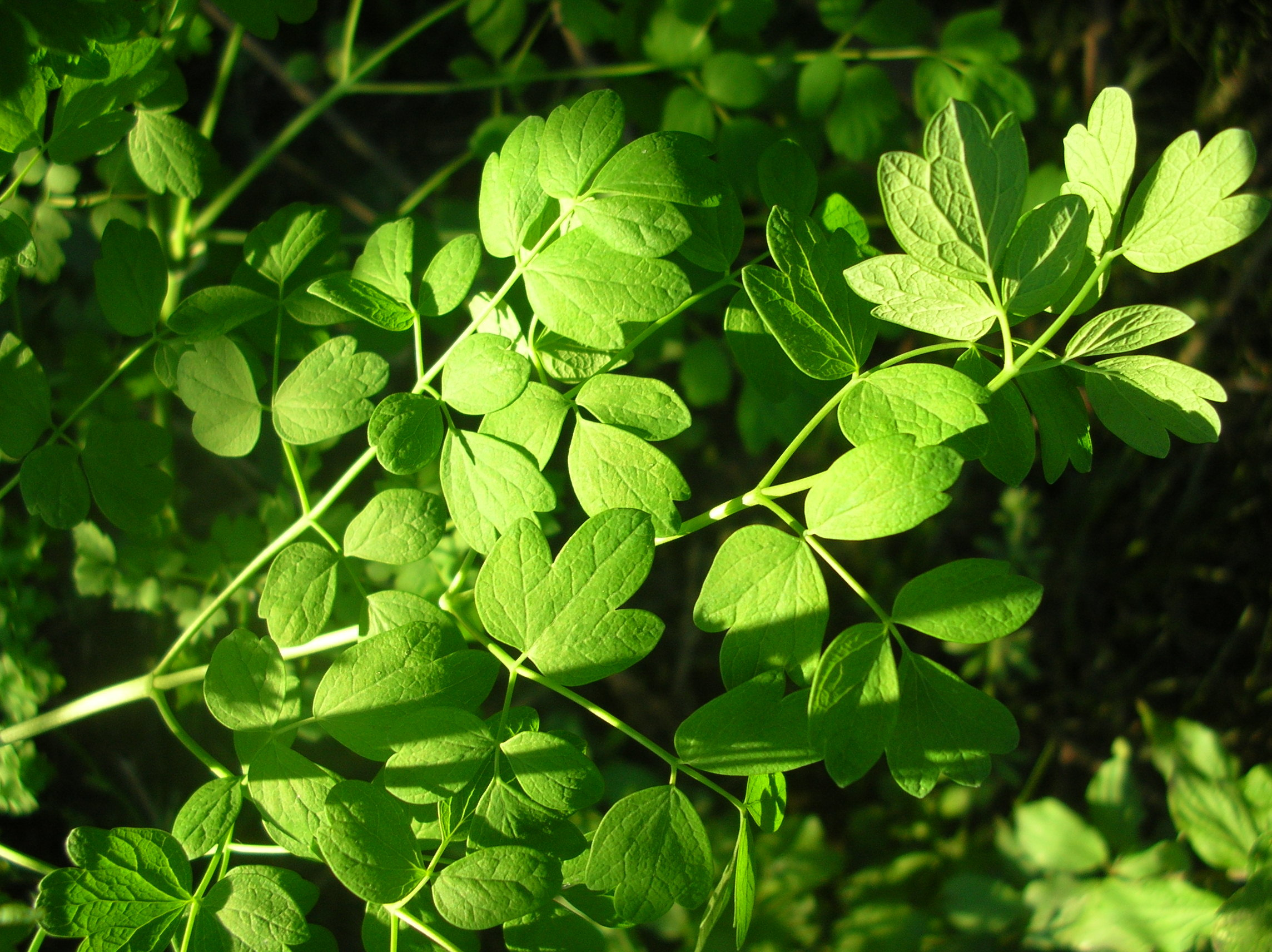 Image of lesser meadow-rue