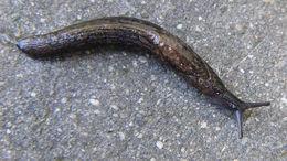Image of Budapest slug