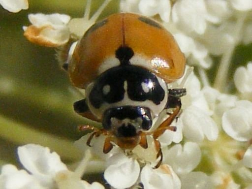 Image of Convergent Lady Beetle