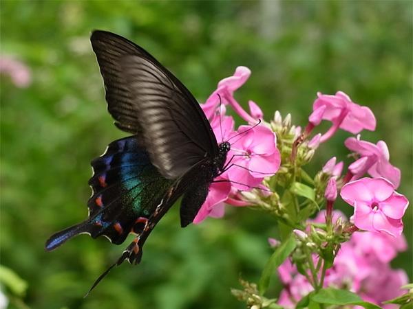 Image of Alpine Black Swallowtail