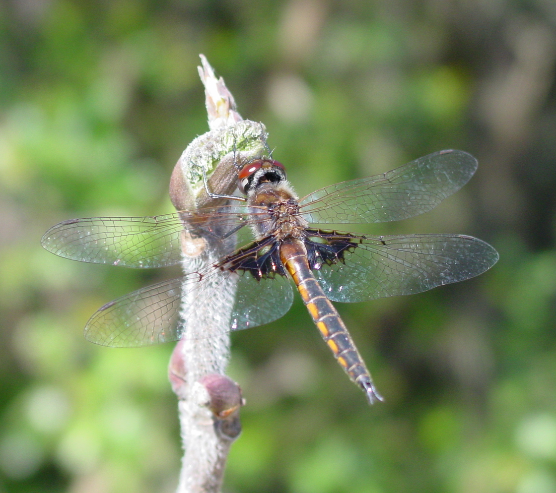 Image of Common Baskettail