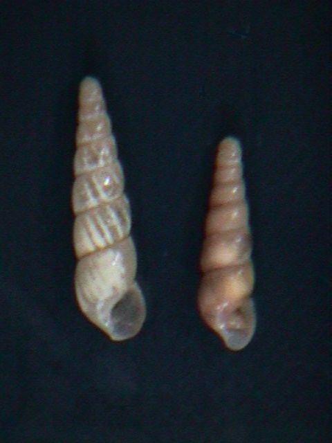 Image of Miniature awlsnail