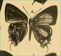 Image of Semanga