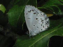 Image of Lycaenopsis