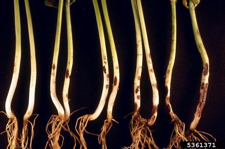 Image of <i>Thanatephorus cucumeris</i> (A. B. Frank) Donk 1956