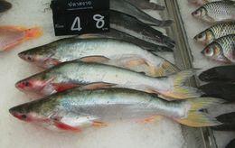 Image of Pangas catfish