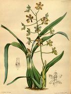 Image of Solenidium