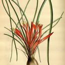 Image of <i>Pitcairnia heterophylla</i> (Lindl.) Beer