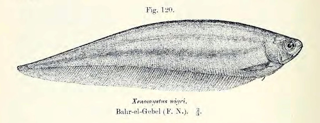 Image of African Knife Fish