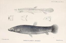 Image of <i>Phractolaemus ansorgii</i> Boulenger 1901