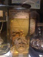 Image of paper nautilus