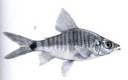 Image of <i>Xenocharax spilurus</i> Günther 1867