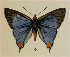 Image of <i>Aphnaeus abnormis</i>