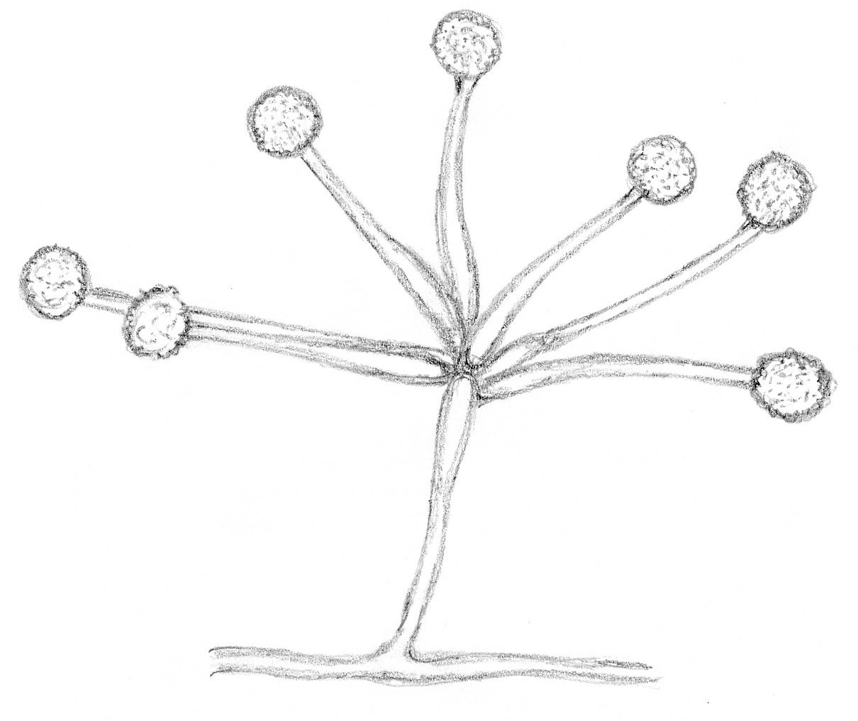 Image of Mortierella