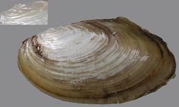Image of <i>Pseudanodonta complanata</i>