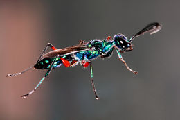 Image of Emerald cockroach wasp