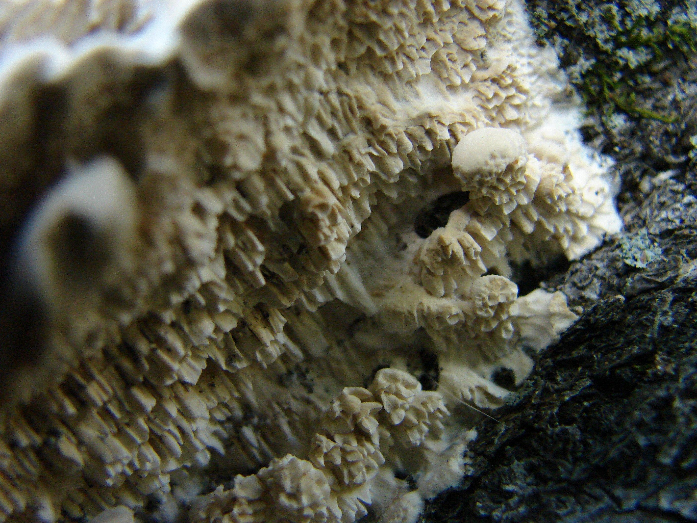 Image of Hyphodontia