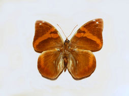 Image of <i>Opsiphanes cassina</i> Felder 1862