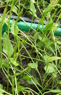 Image of Least Adder's-tongue