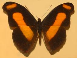 Image of <i>Catonephele sabrina</i> Hewitson 1852