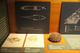 Image of <i>Sphaerechinus granularis</i> (Lamarck 1816)