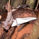 Image of <i>Ganoderma brownii</i> (Murrill) Gilb. 1962