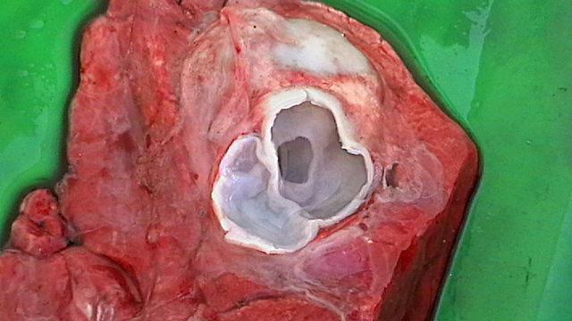 Image of Dog Tapeworm