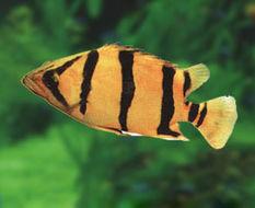 Image of Mekong tiger perch