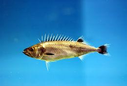 Image of Castor Oil Fish
