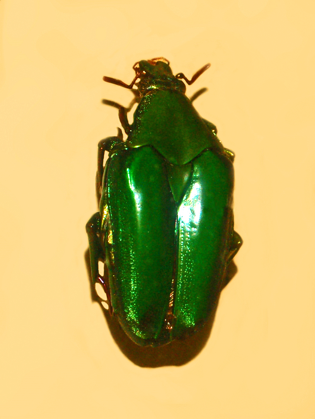 Image of <i>Pseudochalcothea virens</i> (Ritsema 1879)