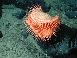 Image of Venus flytrap sea anemone