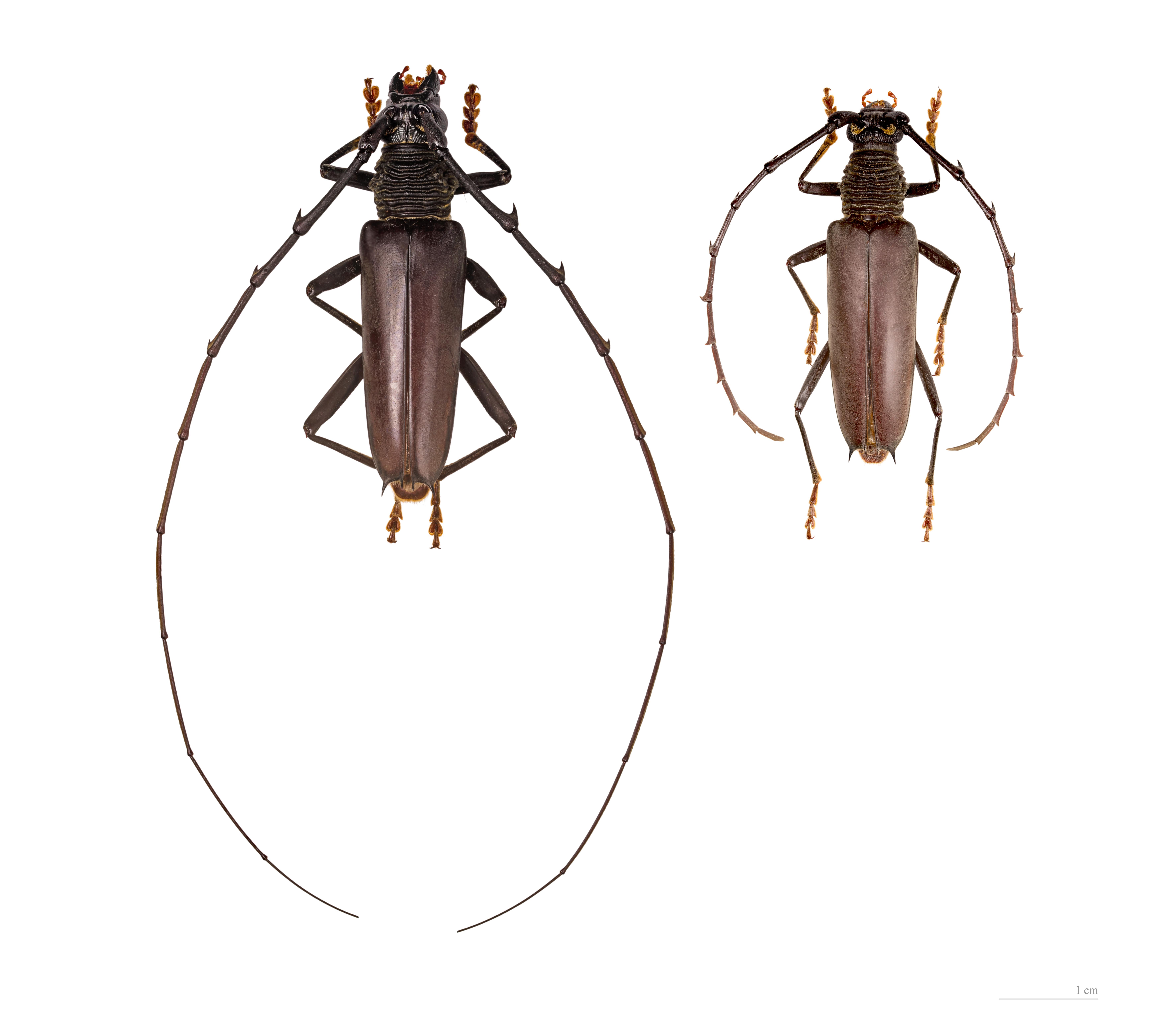 Image of <i>Juiaparus batus</i> (Linne 1758)