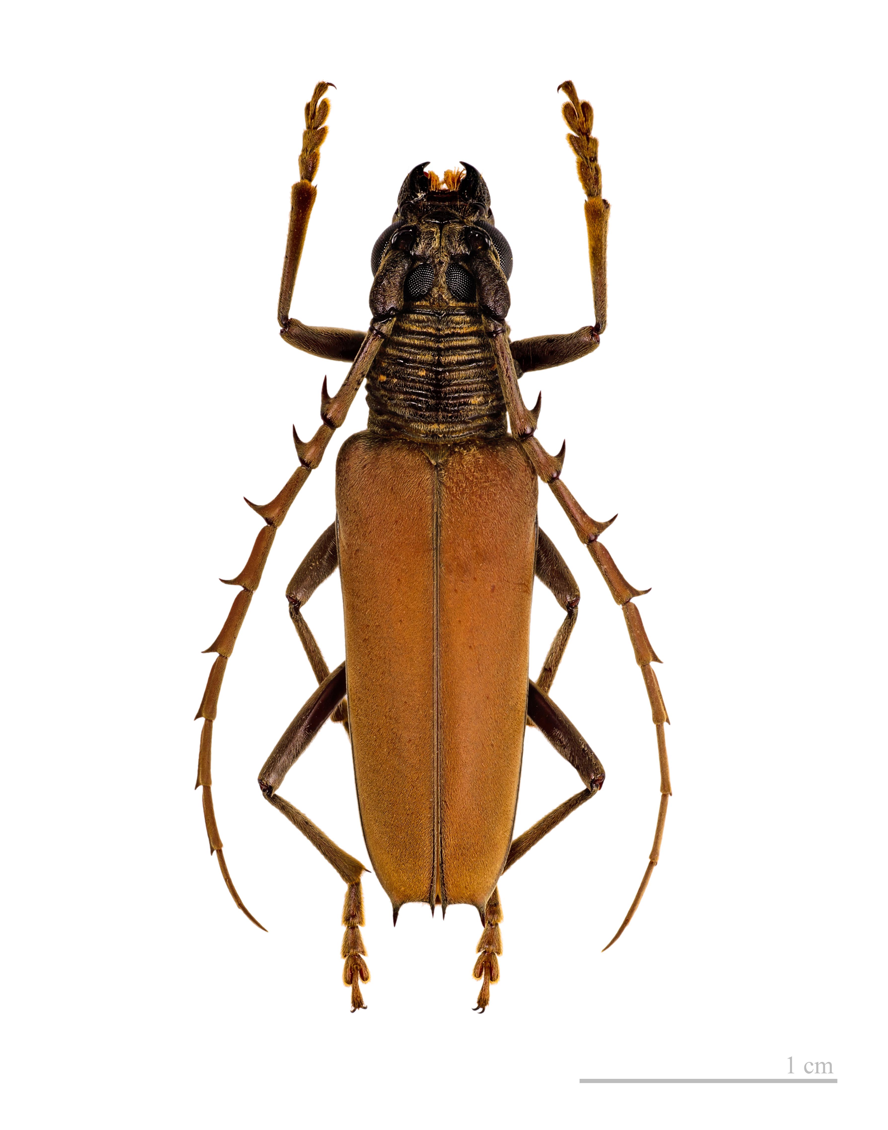 Image of <i>Atiaia consobrina</i> (Gahan 1892)